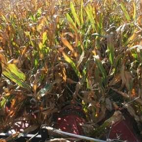 Zbiór kukurydzy przystawką