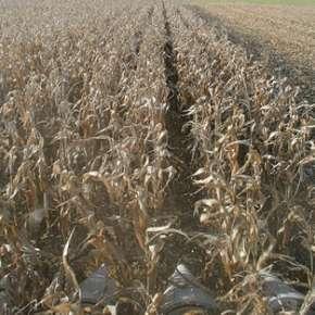 Zbiór kukurydzy przystawką po siewie Twin Row Sync Row