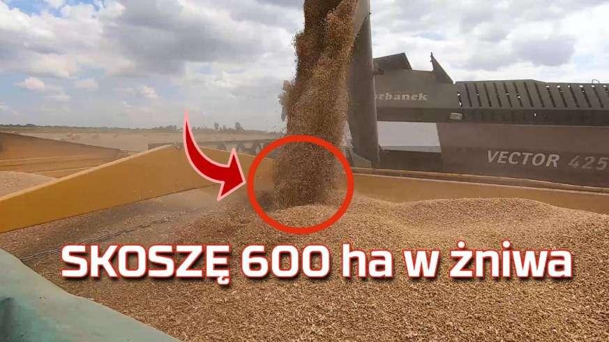 Tapeta skoszonego pola i wyładunek zboża na przyczepę kombajnem Rostselmash Vector w czasie żniw 2019 www.Korbanek.pl