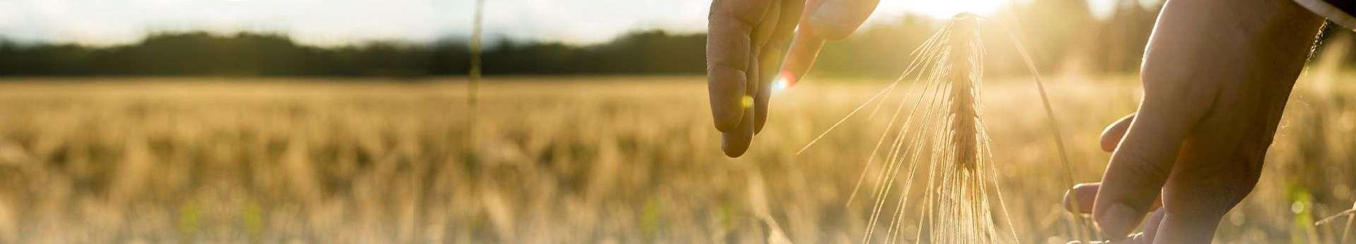 zdjęcie kłosa zboża obejmowanego dłońmi rolnika na tle zachodzącego słońca Agrotech Kielce 2019