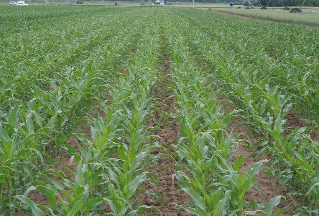 Kukurydza wysiana metodą TWIN ROW 2 lnie siewu na rząd