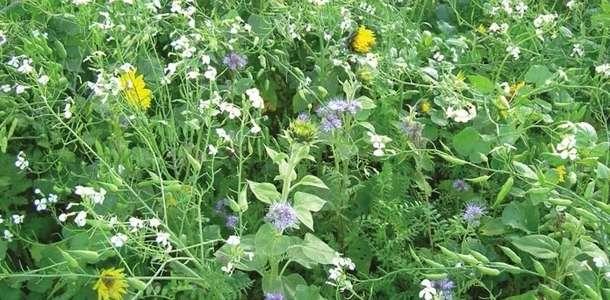 Międzyplony - rośliny okrywowe dają wiele zalet
