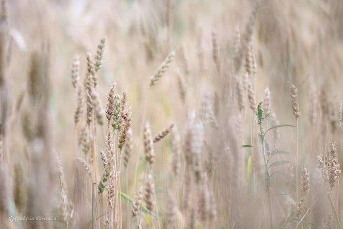 Zdjęcie pola zbóż pszenicy