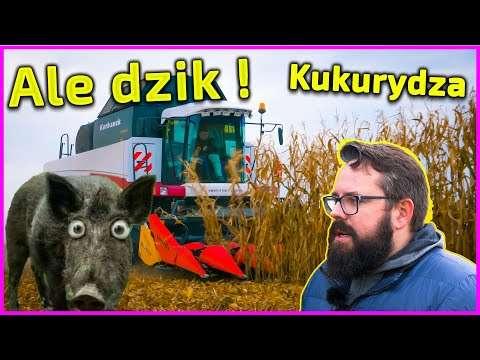 Embedded thumbnail for Ale dzik ! Buszujący w kukurydzy 2020 !