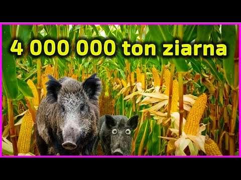 Embedded thumbnail for 4 000 000 ton ziarna kukurydzy w Polsce w 2020 roku 923 000 ton w 2000 roku
